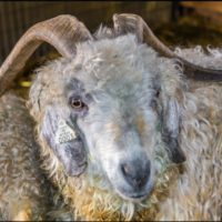 Angora Goat-0.03