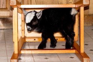 Sarah the goat