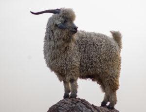 Angora goat wether