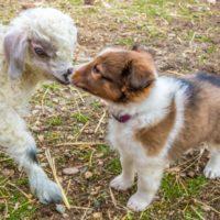 Puppies at ATI Farms