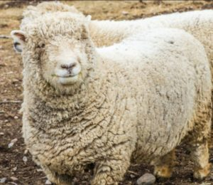 "Southdown Sheep - ""Baby Doll"""
