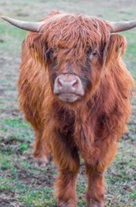 Highland cow at ATI Farms