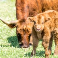 Scottish Highland Calves at ATI Farms