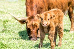 Scottish Highland Calves at ATI Farms