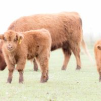 Scottish Highland Calves