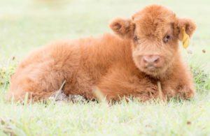 Scottish Highland Calves